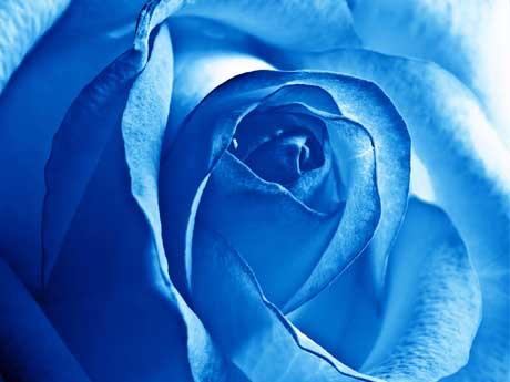 گـــل رز آبی