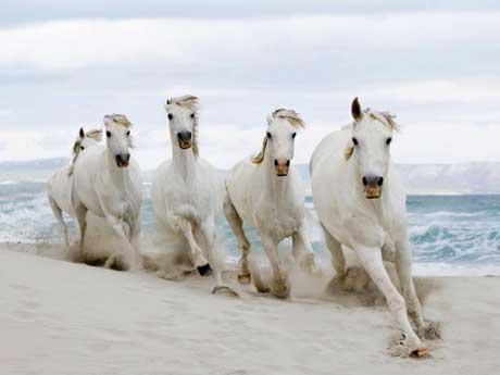 اسب های سفید زیبا