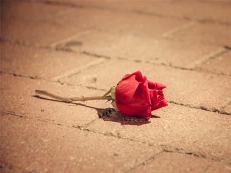 رز قرمز