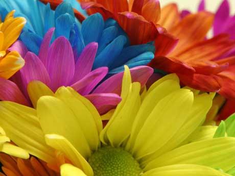 گل های آفتابگردان رنگارنگ