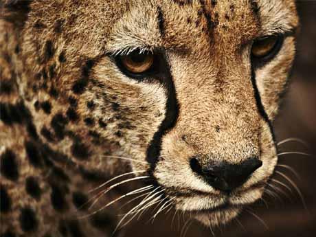 یوزپلنگ ( چیتا )