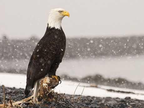 پسزمینه ی عقاب آمریکایی
