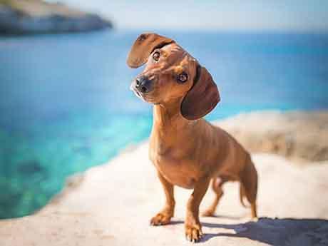 والپیپر سگ