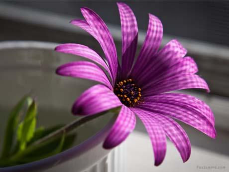 گل بنفش