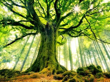 درخت بزگ