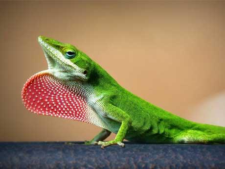 مارمولک سبز