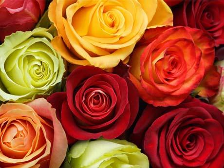 رز های رنگی