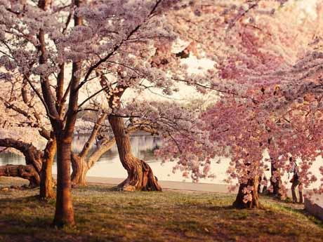 شکوفه زدن درختان در بهار