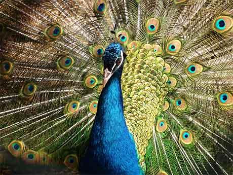 والپیپر طاووس