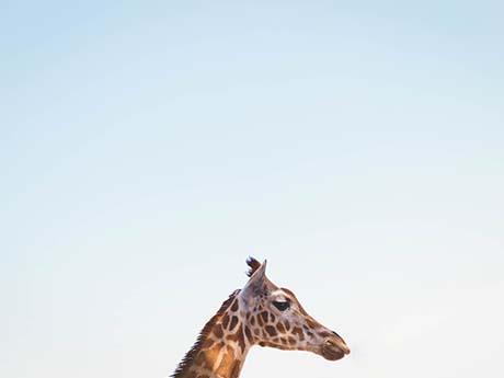 والپیپر حیوانات | زرافه